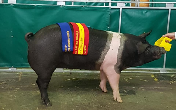 Blenkiron Reserve Champion Group A Sow - Royal Sydney Show 2019