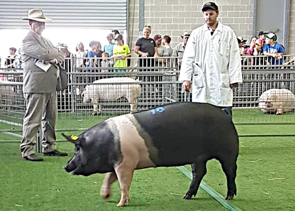 Blenkiron sow getting judged with Shaun 2 Royal Sydney Show - Apr 2019